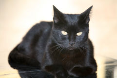 Black cat portrait. Portrait of black cat looking alert Royalty Free Stock Images