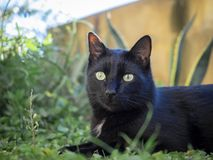 Black cat portrait royalty free stock photography