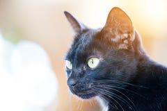 Black cat. Portrait of a beautiful black cat Stock Image