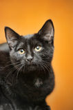 Black cat portrait Stock Images