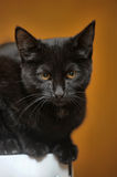 Black cat portrait Royalty Free Stock Image