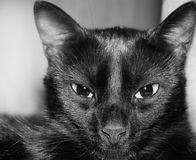 Black Cat Portrait. A mean black and white mug of a black domestic cat royalty free stock images
