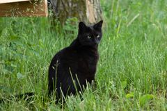 Black Cat Portrait Outdoors in the Summer royalty free stock photo