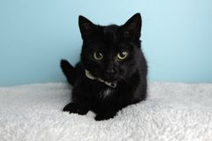 Black Cat Portrait in Studio and Wearing a Bow Tie. Black Cat Portrait in Studio on a Blue Background and Wearing a Bow Tie Lying Down Looking to the Left stock photos