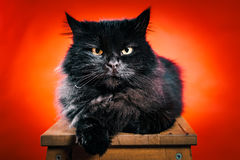 Black cat poses on a red background Royalty Free Stock Image