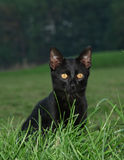 Black Cat Posing Stock Photo