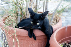Black cat in pot. Black cat sitting in houseplant in terra cotta pot Royalty Free Stock Images