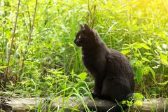 Black cat in profile with attentive look sits in green grass in sunlight. Spring, summer, copy space. Bombay black cat in profile with attentive look sits in royalty free stock photos