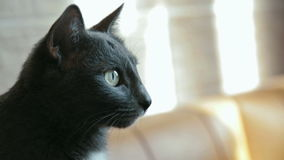 Black cat in profile stock video footage