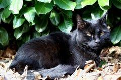 Black cat and Prunus laurocerasus background. Bobkovišeň lékařská, garden portrait, family pet royalty free stock images