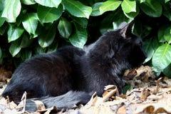 Black cat and Prunus laurocerasus background. Bobkovišeň lékařská, garden portrait, family pet royalty free stock photography