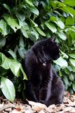 Black cat and Prunus laurocerasus background. Bobkovišeň lékařská, garden portrait, family pet royalty free stock photos