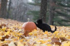Pumpkin, black cat and fall leaves in the woods Royalty Free Stock Image