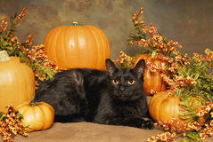 Black cat and Pumpkins Royalty Free Stock Images