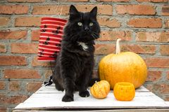 Black cat and pumpkins Royalty Free Stock Photo