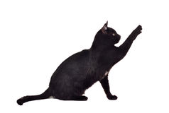 Black cat reaching up for toy showing claws stock photography
