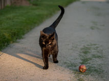 Black Cat and Red Apple Royalty Free Stock Photo