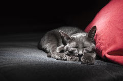 Black cat on red pillow. Black cat  sleeping on sofa in front of the red pillow Royalty Free Stock Images