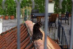 Black cat on the red roof stock photography