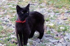 Black cat with a red strap stands in the yard among the grass and stones Stock Photography