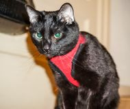 Black Cat in a Red Vest. Looking into the camera Royalty Free Stock Images