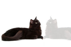 Black cat with reflect 2. Cute Intrigued black cat look something stock photo
