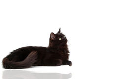 Black cat with reflect. Cute Intrigued black cat look something Stock Photography