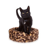 Black cat resting royalty free stock images