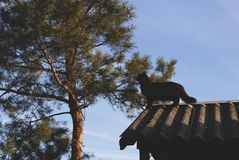 The black cat on the roof looks at the pine. royalty free stock photo