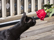 Black cat and a rose. A black cat is curious about a rose Stock Photography