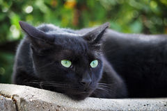 Black Cat. It`s a little panther Royalty Free Stock Images
