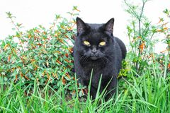Black cat scottish straight, sitting in the grass. And in flowers stock images