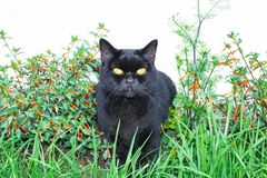 Black cat scottish straight, sitting in the grass. And in flowers stock photos