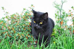 Black cat scottish straight, sitting in the grass. And in flowers stock photography
