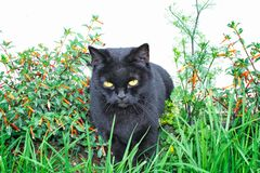Black cat scottish straight, sitting in the grass. And in flowers stock image