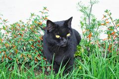Black cat scottish straight, sitting in the grass. And in flowers royalty free stock photo