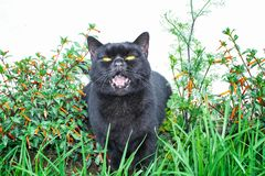 Black cat scottish straight, sitting in the grass. Opened it`s mouth. And in flowers stock photography