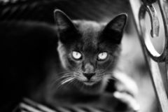 Black cat with short hair sitting close up. At the photo royalty free stock photos
