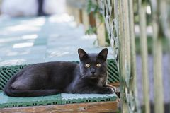 Black cat with short hair sitting close up. At the photo royalty free stock photo