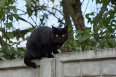 A black cat sits on a concrete fence near a tree. Big black cat on a concrete fence in the street royalty free stock photo