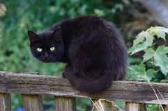 A black cat sits on a gray wooden fence outside. Big black cat sitting on a gray wooden fence in grass and greens Stock Images
