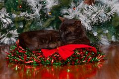 Black cat sitting in Christmas wreath with red ribbon. stock photos