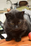 Black cat. Black cat sitting down on a wooden table in a room of a house Royalty Free Stock Photos