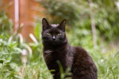 Black cat. Sitting in the grass in the summer royalty free stock image