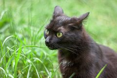Black cat. Sitting in the grass in the summer stock image