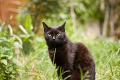 Black cat. Sitting in the grass in the summer royalty free stock photo