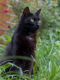 Black cat. Sitting in the grass in the summer royalty free stock photos