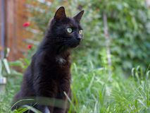 Black cat. Sitting in the grass in the summer stock photo