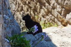 Black cat sitting in a gray stone wall, purple flower grows in proscheline.  Royalty Free Stock Images
