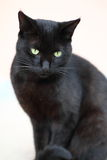 Black Cat. Sitting and looking at the camera Stock Photography